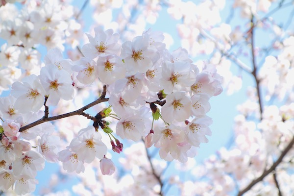 RX100 写真 桜 春